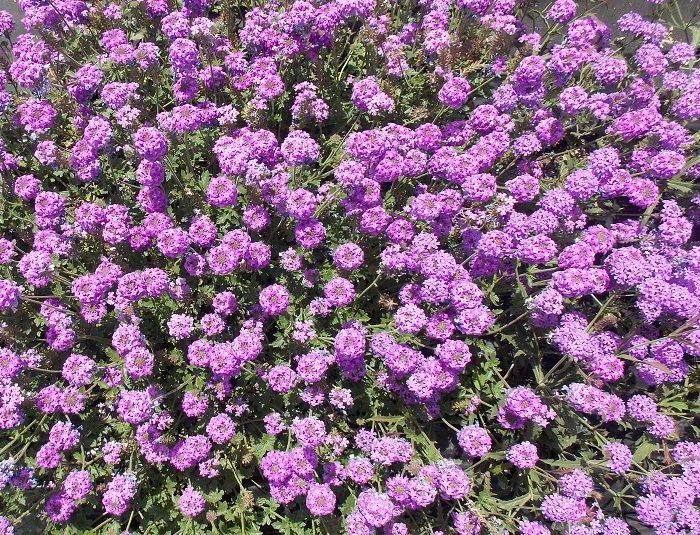 Presentan dos nuevas variedades de flores