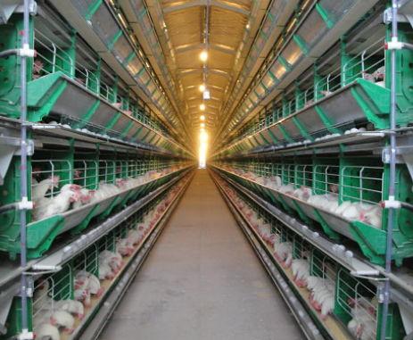 Buscan alternativas para los excrementos de la producción aviar