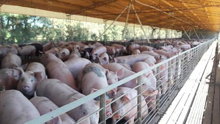 Transforman residuos de la producción porcina en abonos productivos