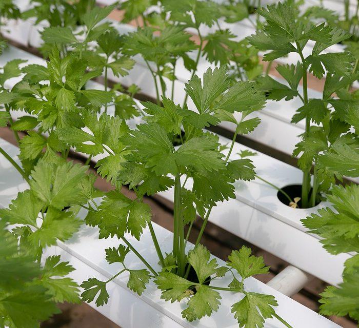 Descubren la molécula en el cilantro que puede prevenir las convulsiones