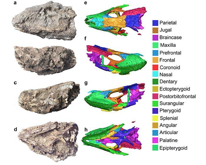 Reconstruyen en 3D el cráneo fósil de un lagarto gigante de las Islas Canarias