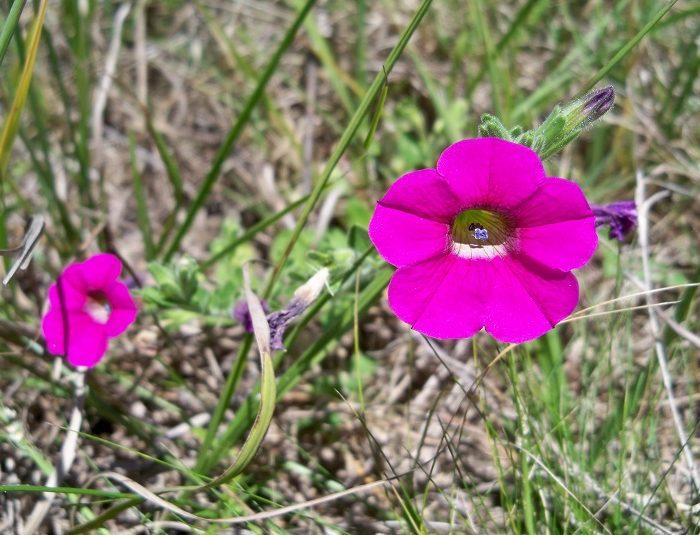 Descubren una especie de Petunia inédita en el país