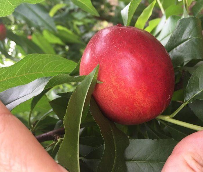 Avances en la genética de duraznos y nectarinas