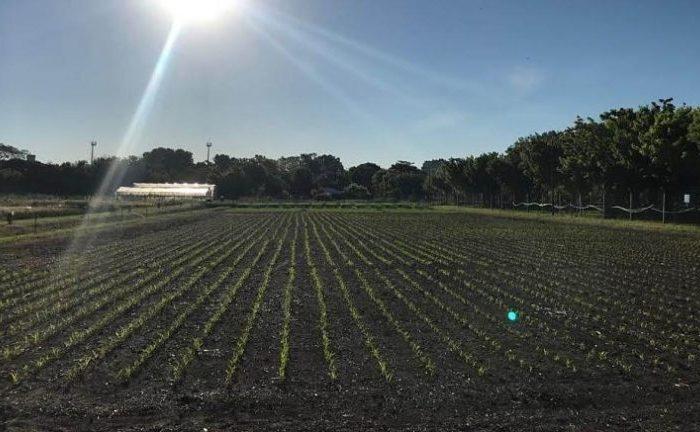 El maíz se expande y consolida en áreas con fuertes limitantes productivas