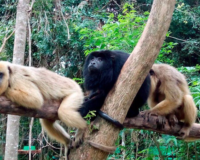 Identifican grupos genéticos de monos rescatados del tráfico ilegal