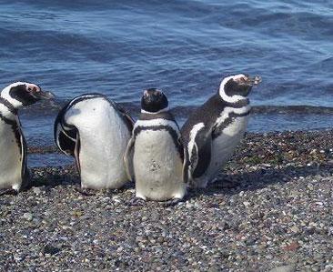 Descubrieron restos de piel fosilizada de un pingüino gigante en la Antártida