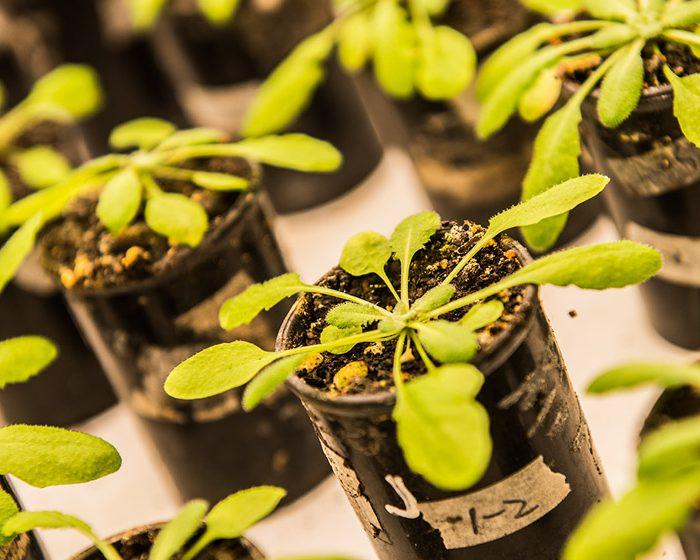 Revelan vínculo molecular entre señales de competencia y respuestas de defensa en plantas