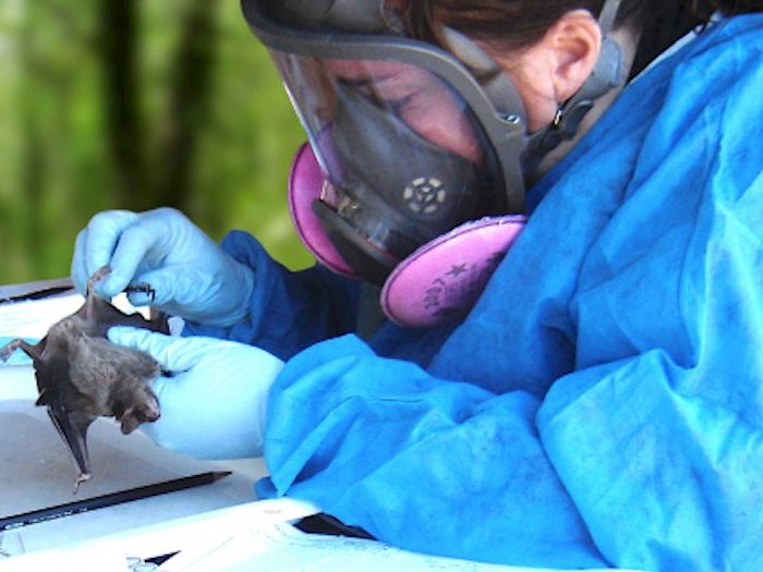 Los murciélagos y su rol en el surgimiento de nuevas enfermedades virales