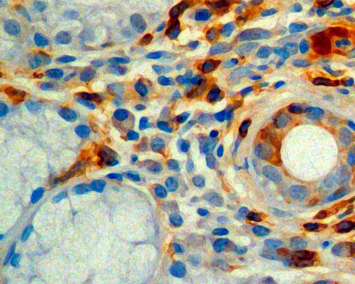 Investigadores del CONICET descubren un mecanismo clave sintonizador de la respuesta inmunológica durante el envejecimiento
