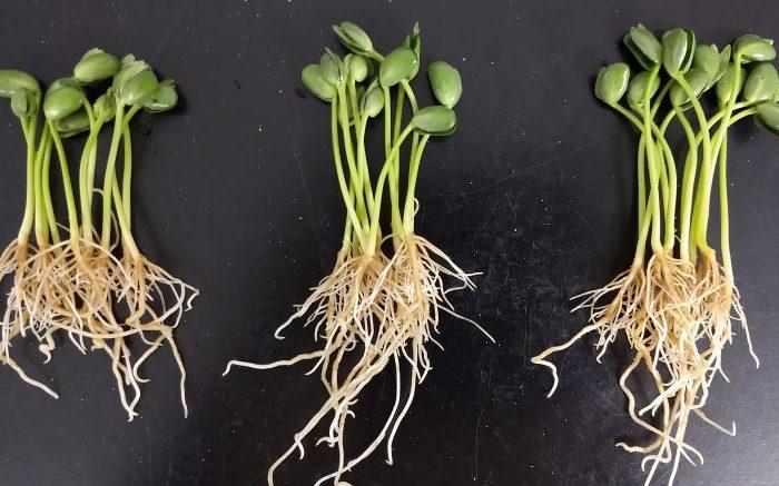Mejoran la fijación de nitrógeno en soja con un método físico