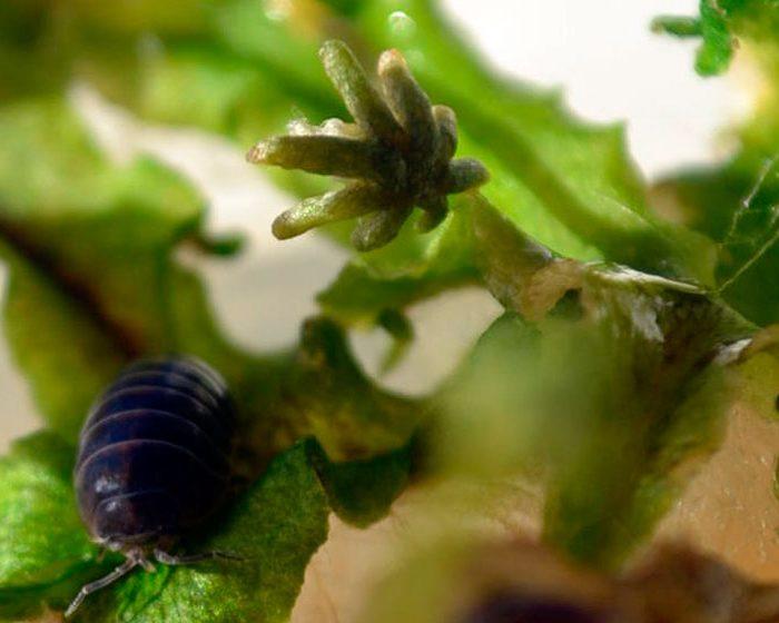 Describen un nuevo mecanismo de defensas de las plantas contra herbívoros