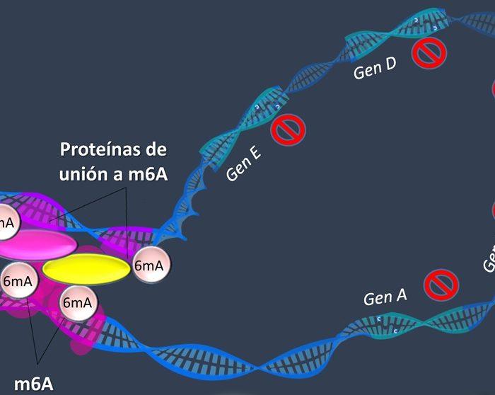 Tricomoniasis: describen mecanismos que hacen variar la estructura 3D del ADN del parásito que la causa