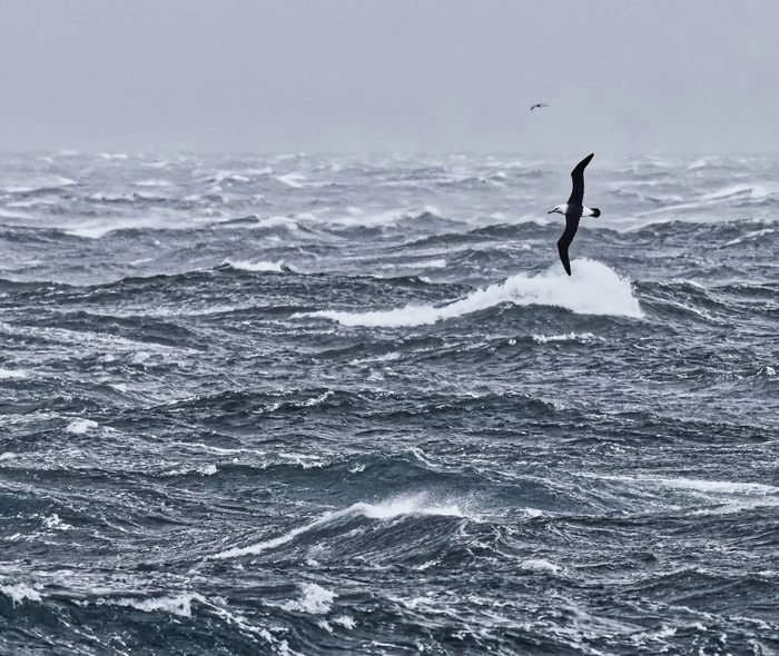 Albatros: un grupo de aves marinas en un estado de conservación preocupante