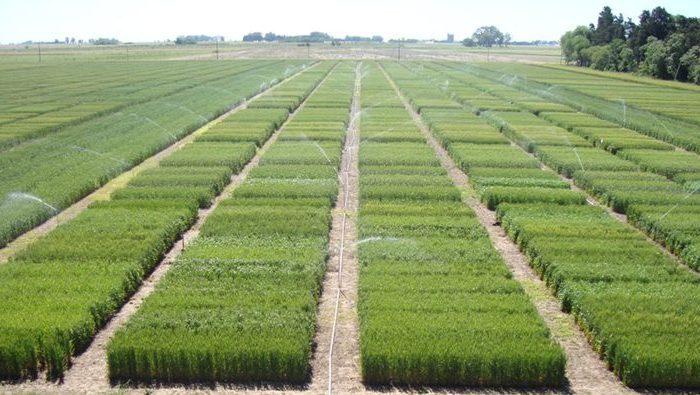 Identifican regiones genómicas importantes para mejorar el potencial de rendimiento del cultivo de trigo
