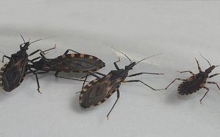 Primera formulación pediátrica de un medicamento contra la enfermedad de Chagas