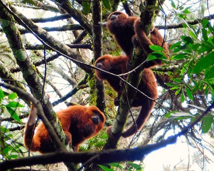 Mutaciones del ADN de los monos carayá rojos podrían haberlos salvado de la fiebre amarilla