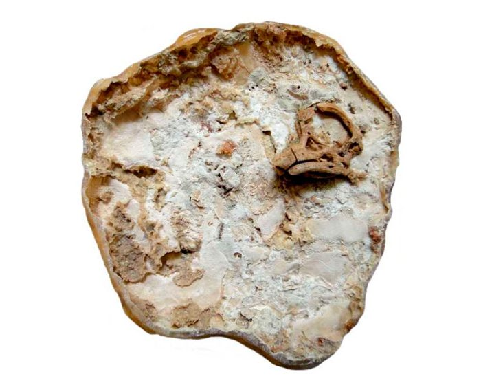 Describen el primer cráneo de un embrión de titanosaurio preservado en forma tridimensional
