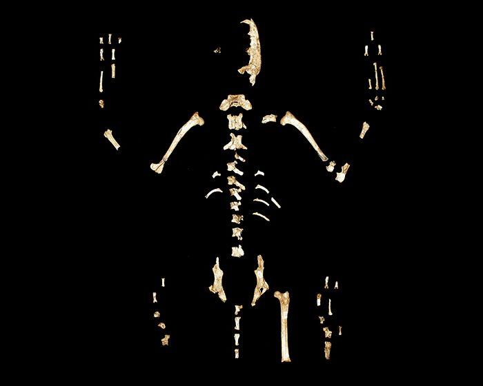 Ferrucyon avius: el nuevo género de cánidos descrito por investigadores del CONICET
