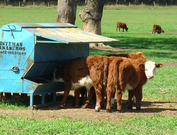 Con feedlots ecológicos y destete precoz mejoran los rendimientos