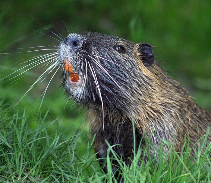 En Argentina hay 730 especies de plantas y animales exóticas invasoras