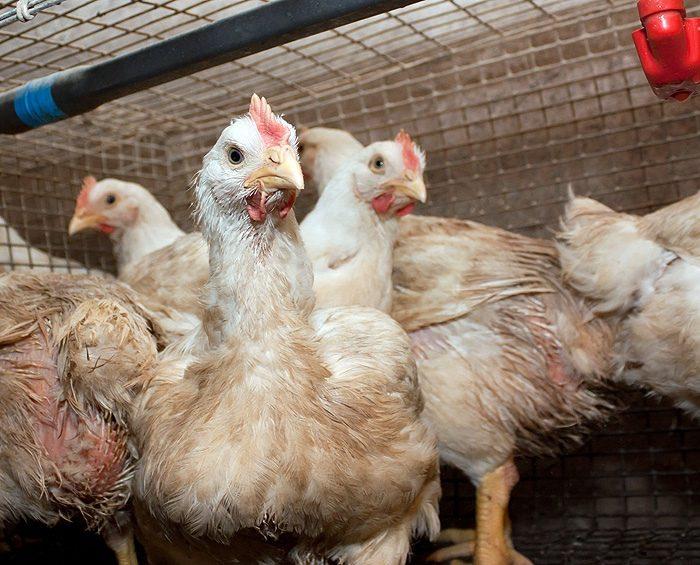 Identificaron brotes de variante de gripe aviar altamente contagiosa