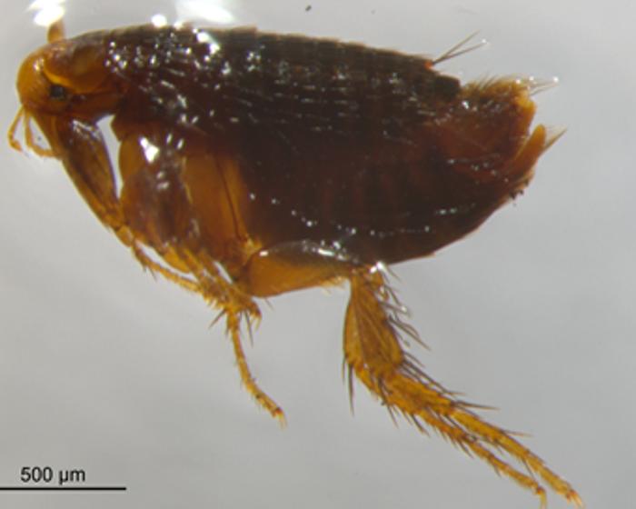 Tan pequeña como desconocida: los riesgos subestimados de la picadura de una pulga