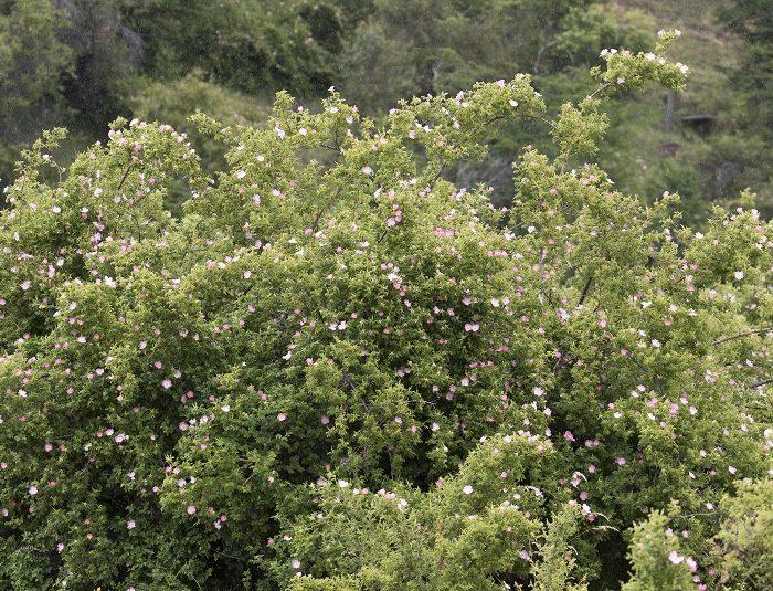 Estudian el potencial de la rosa mosqueta como biocombustible