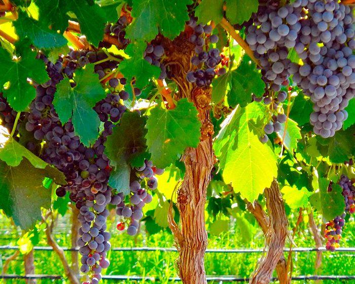 Logran discriminar el terroir de vinos malbec mediante análisis químicos