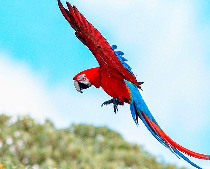 Vuelan en Corrientes guacamayos rojos, una especie que estaba extinta hace más de 170 años