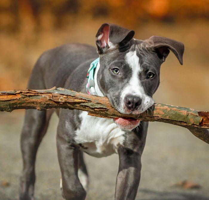 Los perros de raza potencialmente peligrosas deberán ser registrados