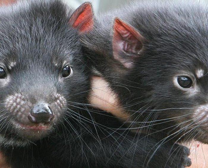 Nacieron demonios de Tasmania en forma natural, a 3.000 años de su desaparición