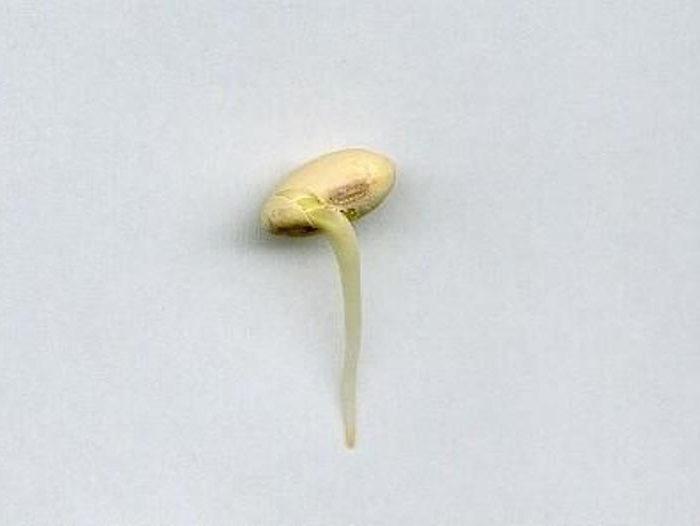 Soja: por qué germinan los granos dentro de las vainas