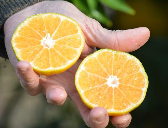 Dos nuevas variedades de mandarinas saneadas