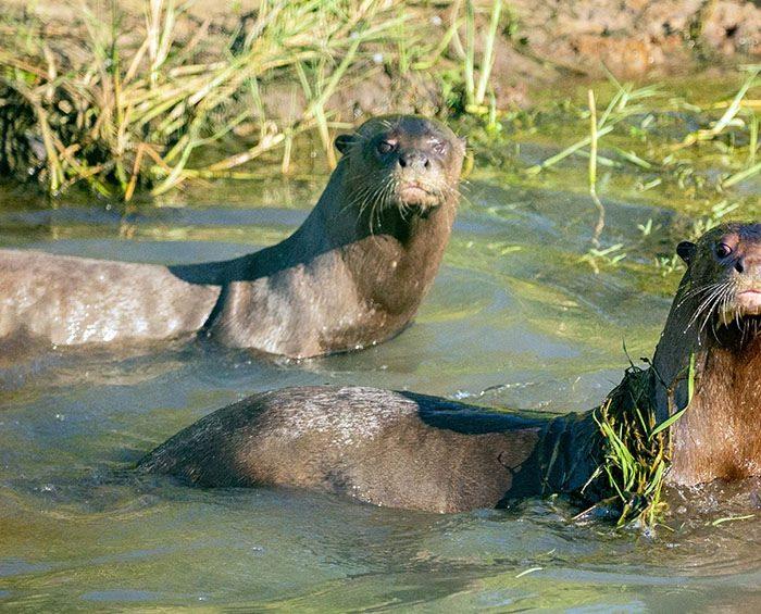 Reintroducen en los Esteros del Iberá a una nutria gigante traída desde Suecia