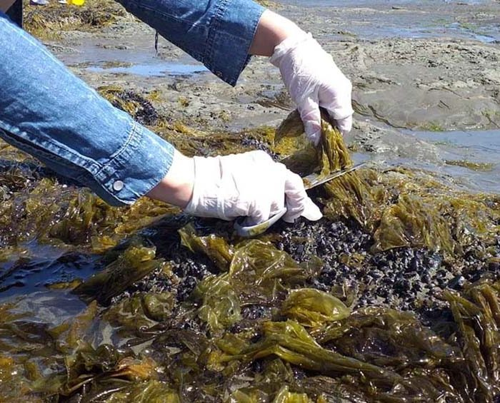Producirán fideos con algas creados en la Universidad Nacional de la Patagonia