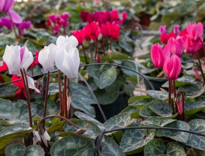 Plantines de invierno, tres opciones para sumar color al jardín