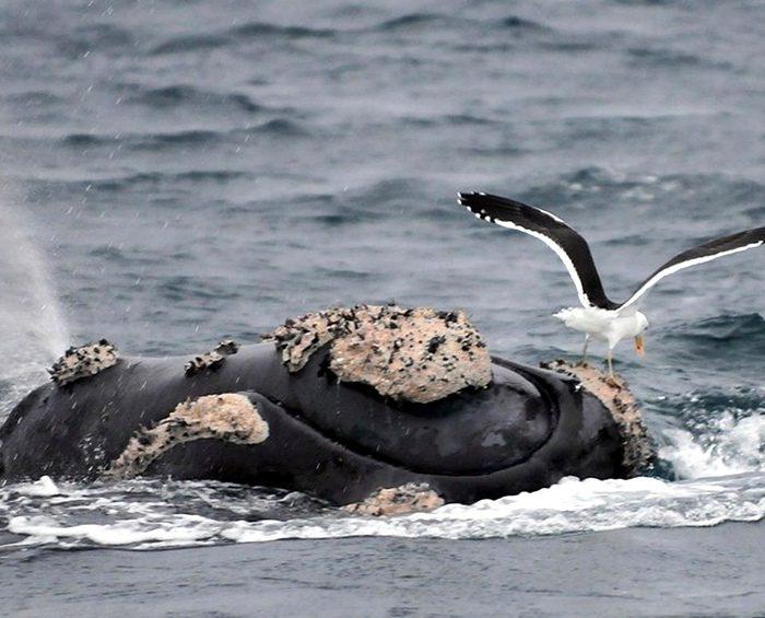 Un estudio indicó que la mayor cantidad de gaviotas genera más muertes de ballenas