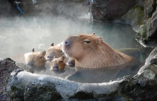 Japón ama a los carpinchos: tienen su animé, se bañan en aguas termales y les gustan las caricias