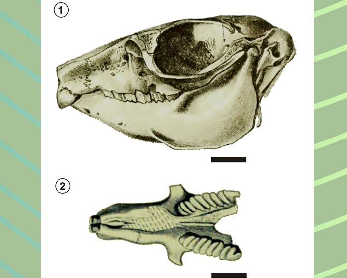Esclarecen el origen de dos mamíferos extintos cuya procedencia y antigüedad eran un misterio