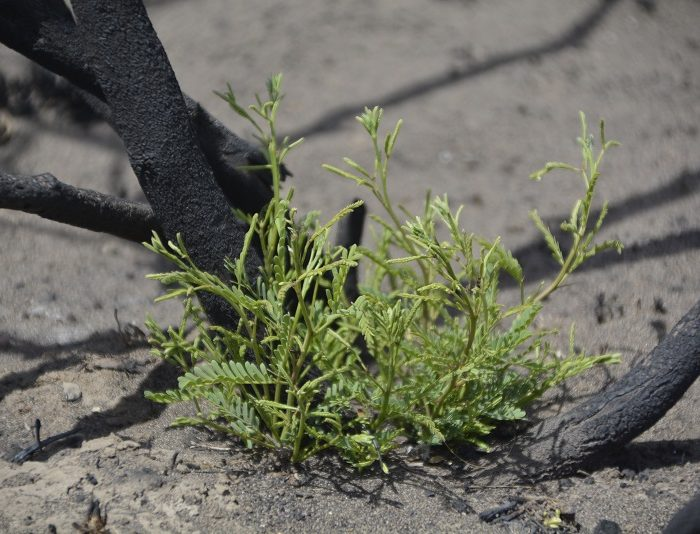 Consolidan daños y riesgos de incendios con estrategias de regeneración
