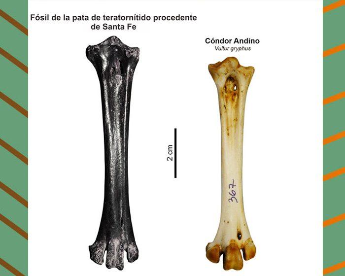 Descubren restos fósiles de las últimas aves voladoras gigantes de Sudamérica