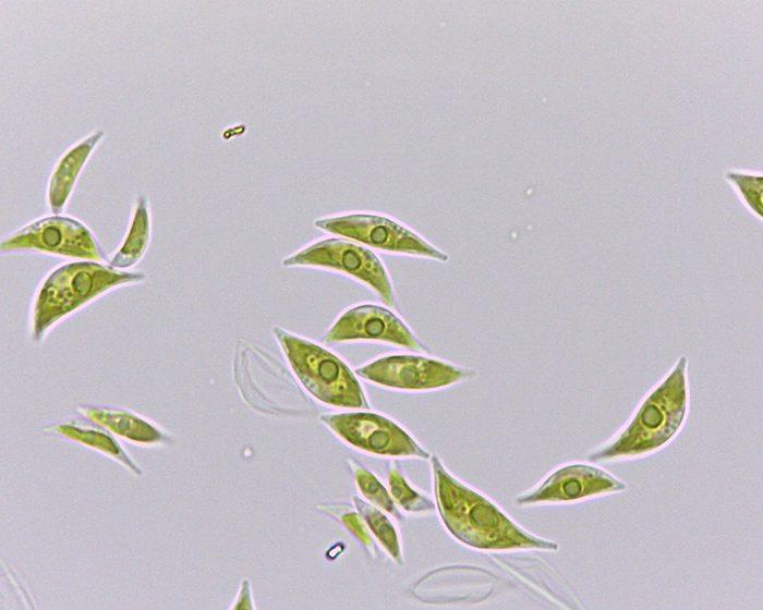Scenedesmus dimorphus: el alga que podría sobrevivir en ciertas condiciones marcianas