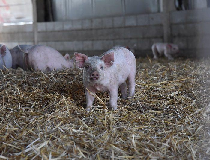 El sector porcino crece en consumo, exportación y producción